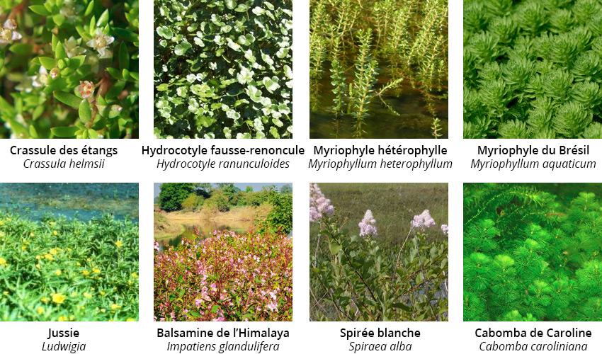 plante aquatique invasive